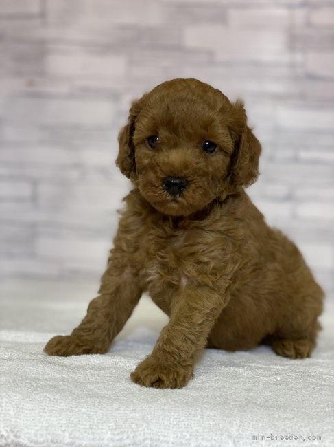 トイプードルの子犬(ID:1258111073)の1枚目の写真/更新日:2017-12-07