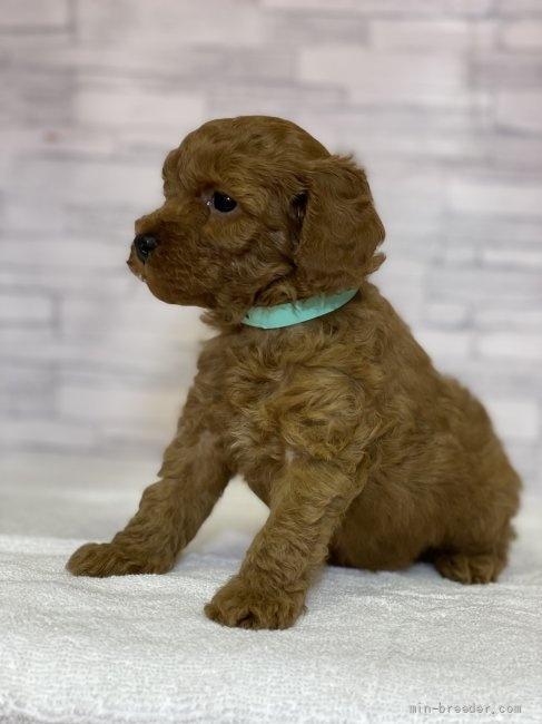 トイプードルの子犬(ID:1258111073)の2枚目の写真/更新日:2017-11-05