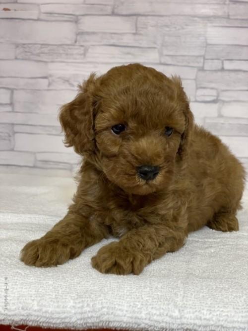 トイプードルの子犬(ID:1258111073)の4枚目の写真/更新日:2017-11-05