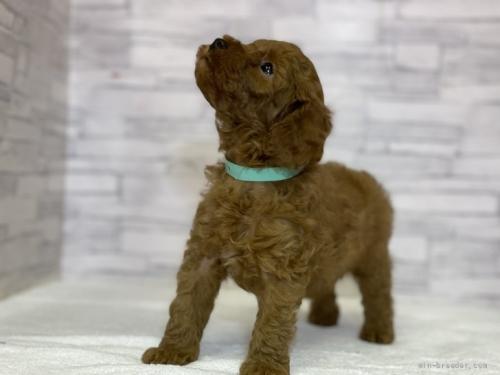 トイプードルの子犬(ID:1258111073)の5枚目の写真/更新日:2017-11-05