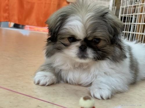 ペキニーズの子犬(ID:1258111074)の1枚目の写真/更新日:2017-10-31