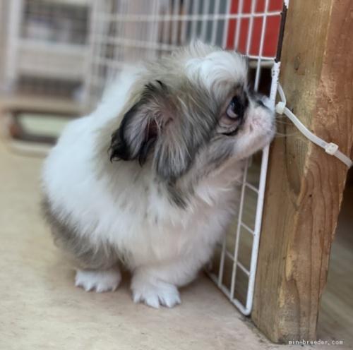 ペキニーズの子犬(ID:1258111074)の2枚目の写真/更新日:2017-11-08