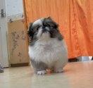 ペキニーズの子犬(ID:1258111074)の4枚目の写真/更新日:2017-11-08