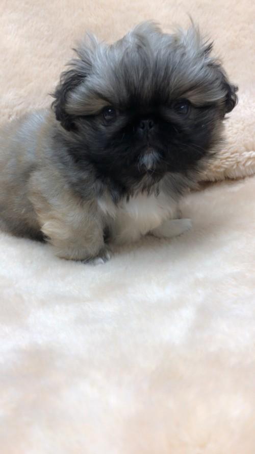ペキニーズの子犬(ID:1258111075)の1枚目の写真/更新日:2017-12-07