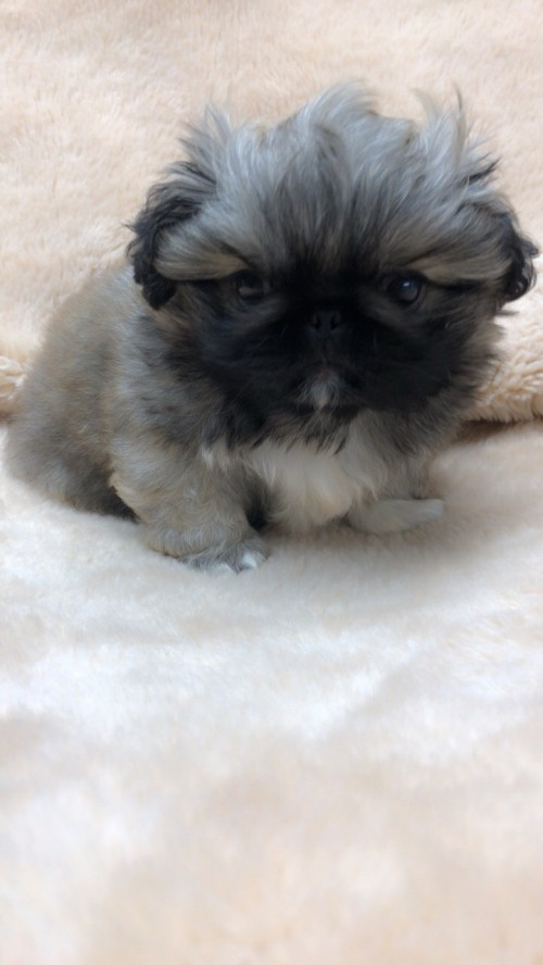 ペキニーズの子犬(ID:1258111075)の2枚目の写真/更新日:2017-12-07