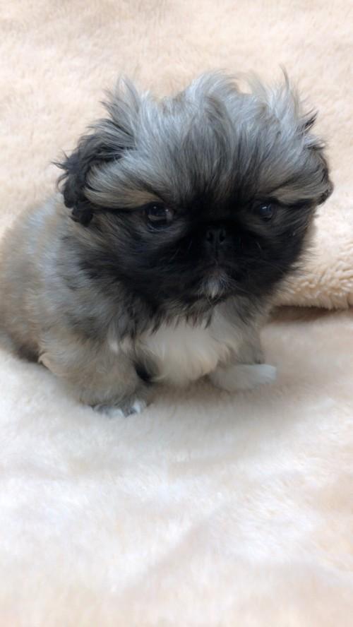 ペキニーズの子犬(ID:1258111075)の3枚目の写真/更新日:2017-12-07