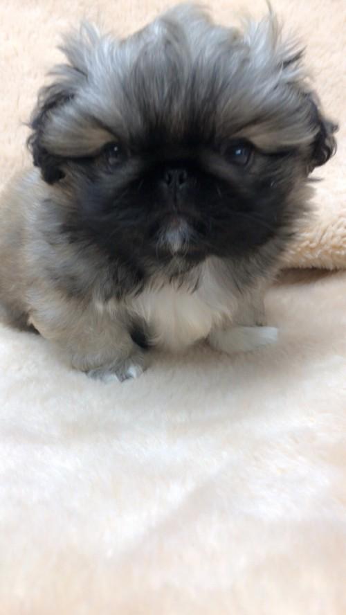 ペキニーズの子犬(ID:1258111075)の5枚目の写真/更新日:2017-12-07