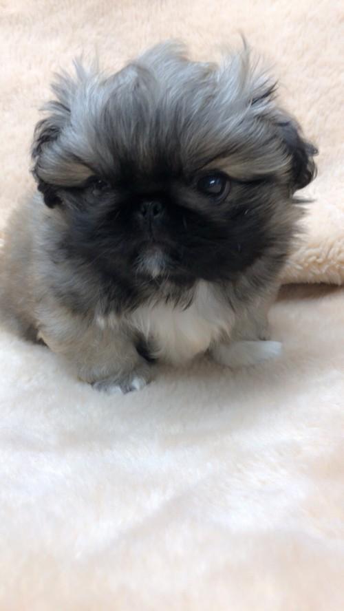 ペキニーズの子犬(ID:1258111075)の6枚目の写真/更新日:2017-12-07