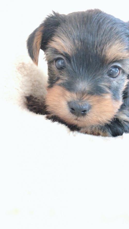 ヨークシャーテリアの子犬(ID:1258111079)の1枚目の写真/更新日:2018-02-05