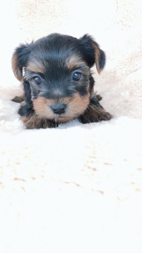 ヨークシャーテリアの子犬(ID:1258111079)の2枚目の写真/更新日:2018-02-05
