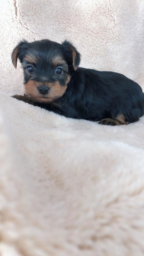 ヨークシャーテリアの子犬(ID:1258111079)の5枚目の写真/更新日:2018-02-05