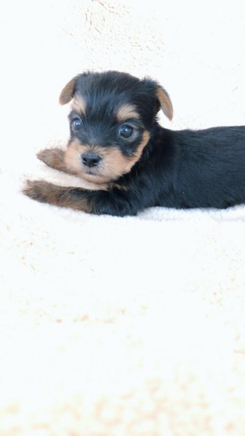 ヨークシャーテリアの子犬(ID:1258111080)の2枚目の写真/更新日:2018-02-05