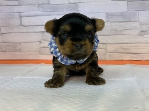 ヨークシャーテリアの子犬(ID:1258111081)の1枚目の写真/更新日:2018-02-05
