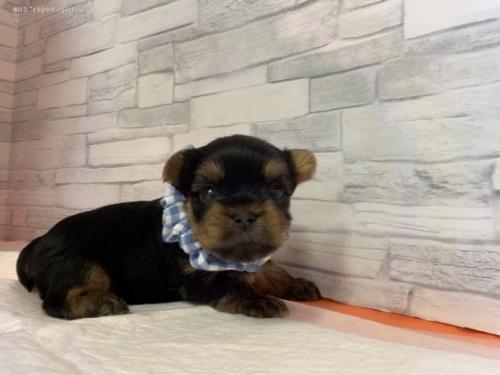 ヨークシャーテリアの子犬(ID:1258111081)の2枚目の写真/更新日:2018-02-05