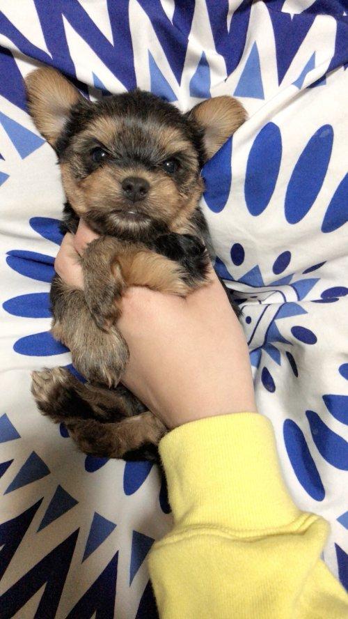 ヨークシャーテリアの子犬(ID:1258111082)の2枚目の写真/更新日:2018-02-13