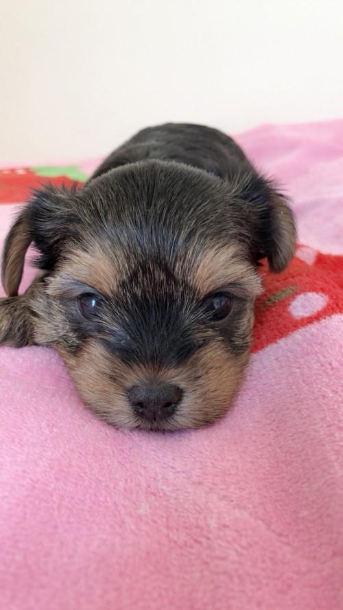 ヨークシャーテリアの子犬(ID:1258111082)の4枚目の写真/更新日:2018-02-13