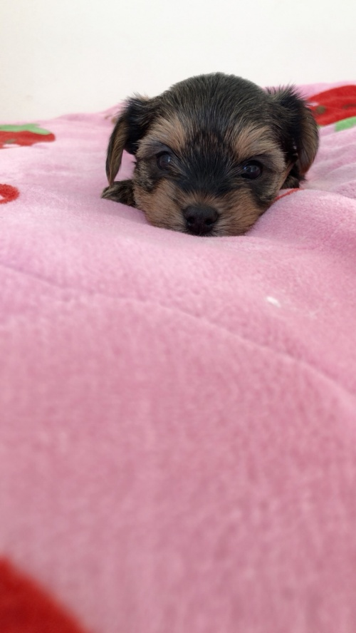 ヨークシャーテリアの子犬(ID:1258111082)の5枚目の写真/更新日:2018-02-13