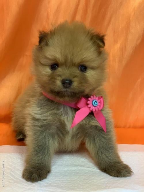ポメラニアンの子犬(ID:1258111083)の1枚目の写真/更新日:2020-08-21