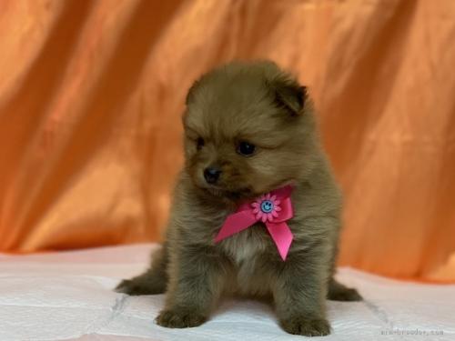 ポメラニアンの子犬(ID:1258111083)の3枚目の写真/更新日:2018-03-18