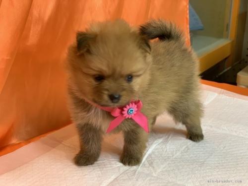 ポメラニアンの子犬(ID:1258111083)の4枚目の写真/更新日:2018-03-18