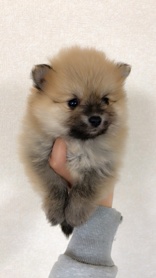 ポメラニアンの子犬(ID:1258111083)の5枚目の写真/更新日:2018-03-18