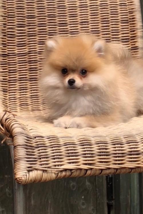 ポメラニアンの子犬(ID:1258111084)の1枚目の写真/更新日:2018-04-16