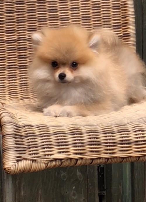 ポメラニアンの子犬(ID:1258111084)の2枚目の写真/更新日:2018-04-16