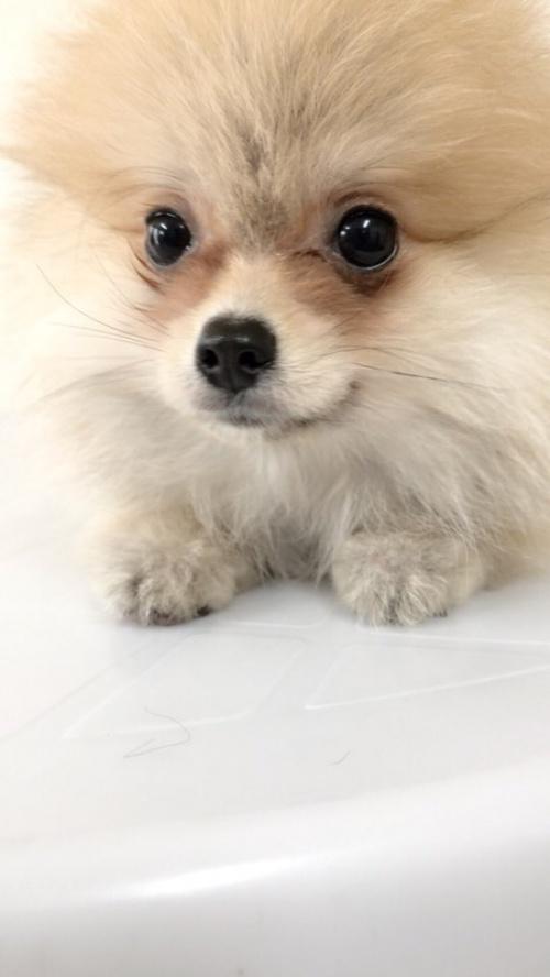 ポメラニアンの子犬(ID:1258111084)の3枚目の写真/更新日:2018-04-16