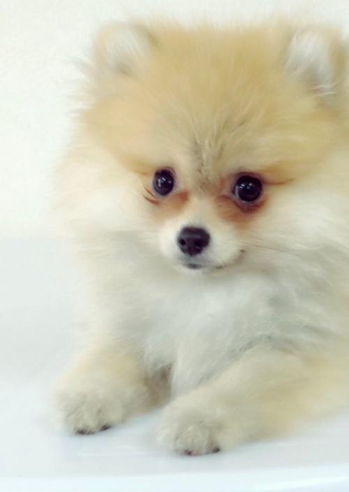 ポメラニアンの子犬(ID:1258111084)の5枚目の写真/更新日:2018-04-16