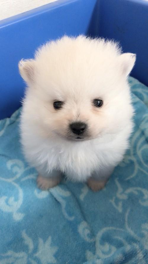 ポメラニアンの子犬(ID:1258111085)の1枚目の写真/更新日:2018-03-18