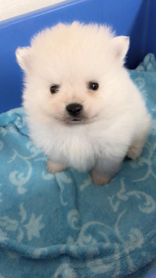 ポメラニアンの子犬(ID:1258111085)の2枚目の写真/更新日:2018-03-18