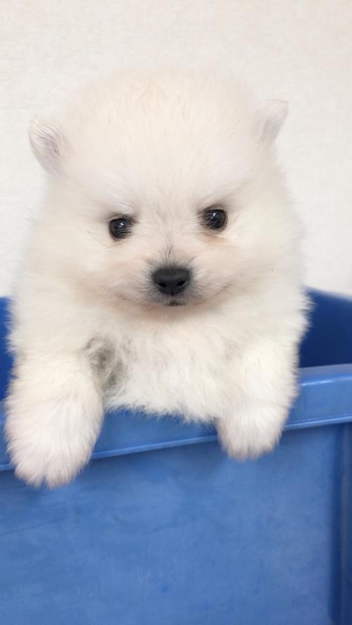 ポメラニアンの子犬(ID:1258111085)の4枚目の写真/更新日:2018-03-18