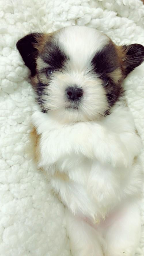 シーズーの子犬(ID:1258111086)の2枚目の写真/更新日:2018-04-02