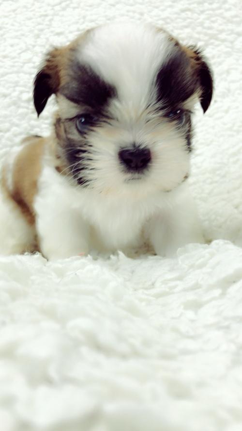 シーズーの子犬(ID:1258111086)の4枚目の写真/更新日:2018-04-02