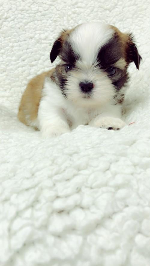シーズーの子犬(ID:1258111086)の5枚目の写真/更新日:2018-04-02