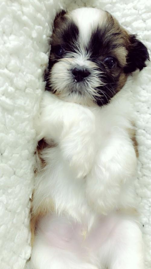 シーズーの子犬(ID:1258111087)の2枚目の写真/更新日:2018-04-02