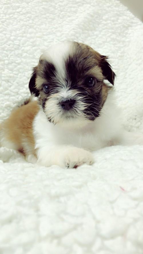 シーズーの子犬(ID:1258111087)の3枚目の写真/更新日:2018-04-02