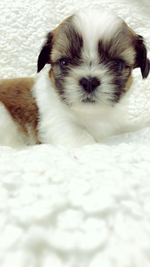 シーズーの子犬(ID:1258111088)の4枚目の写真/更新日:2018-04-02