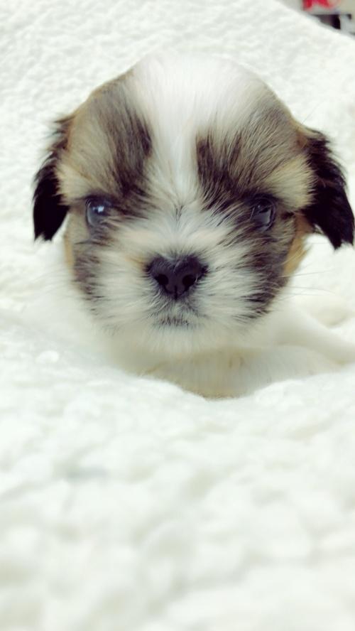 シーズーの子犬(ID:1258111088)の5枚目の写真/更新日:2018-04-02