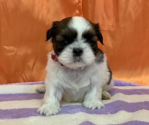 シーズーの子犬(ID:1258111089)の1枚目の写真/更新日:2018-04-16