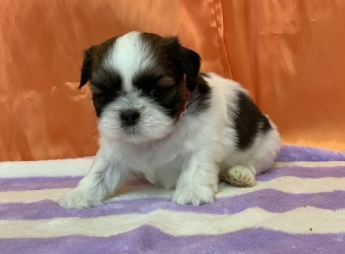 シーズーの子犬(ID:1258111089)の2枚目の写真/更新日:2018-04-16