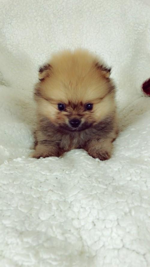 ポメラニアンの子犬(ID:1258111090)の1枚目の写真/更新日:2018-05-25