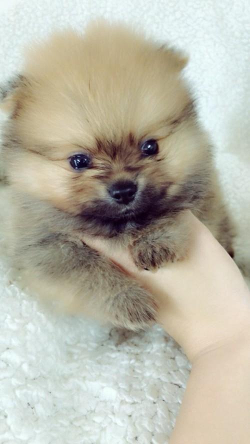 ポメラニアンの子犬(ID:1258111090)の4枚目の写真/更新日:2018-05-25