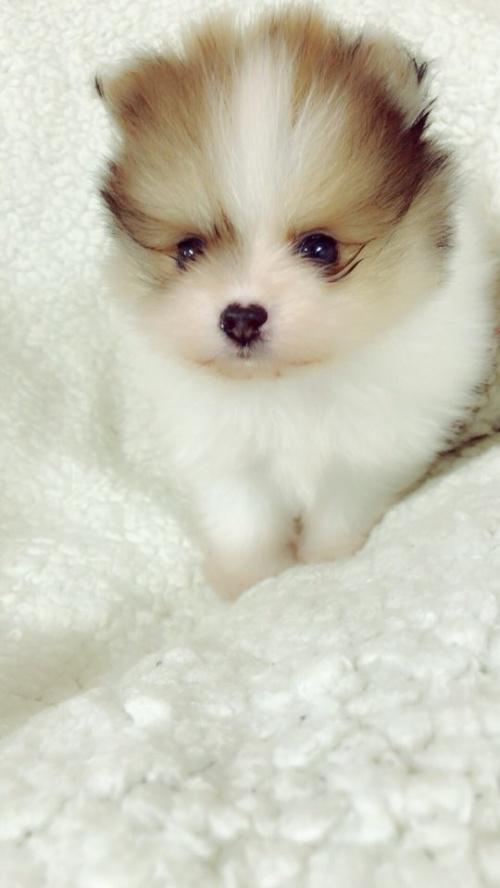 ペキニーズの子犬(ID:1258111091)の1枚目の写真/更新日:2018-05-25