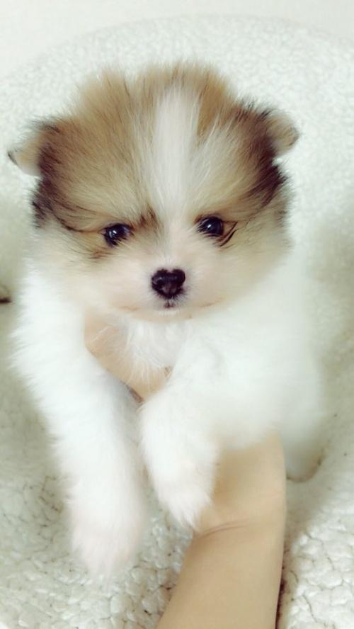 ペキニーズの子犬(ID:1258111091)の2枚目の写真/更新日:2018-05-25