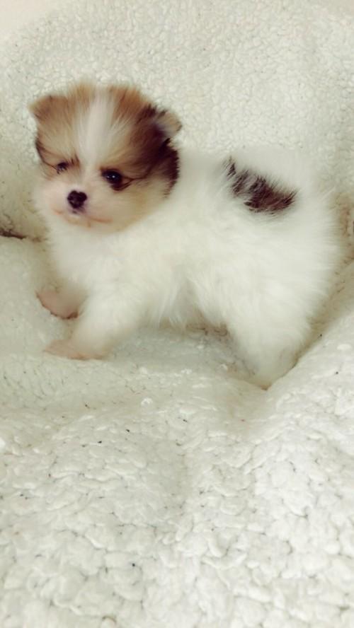 ペキニーズの子犬(ID:1258111091)の3枚目の写真/更新日:2018-05-25