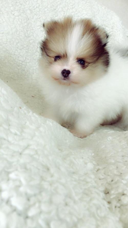 ペキニーズの子犬(ID:1258111091)の5枚目の写真/更新日:2018-05-25