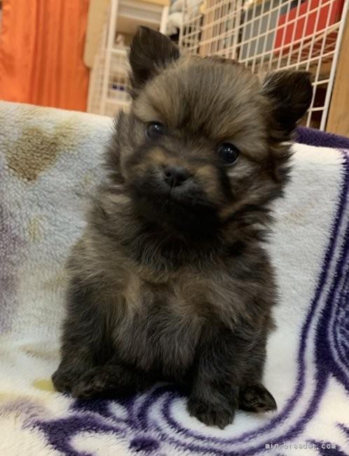 ポメラニアンの子犬(ID:1258111092)の1枚目の写真/更新日:2018-05-25