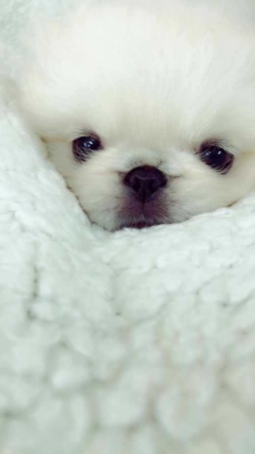 ペキニーズの子犬(ID:1258111093)の3枚目の写真/更新日:2018-06-08
