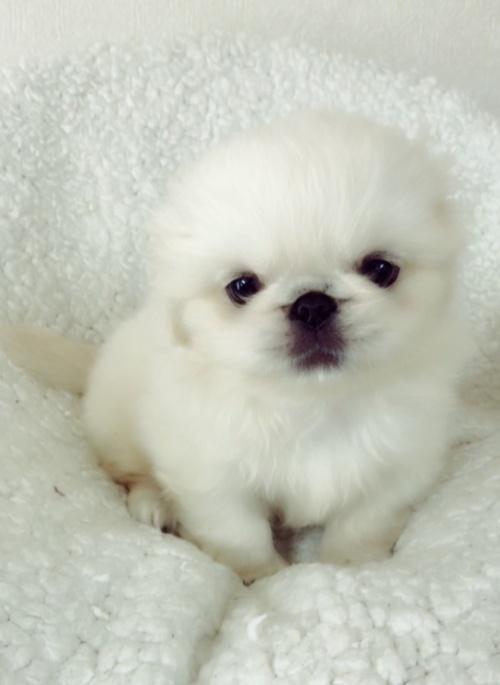 ペキニーズの子犬(ID:1258111093)の4枚目の写真/更新日:2018-06-08